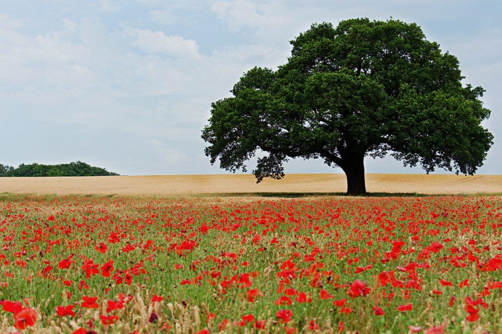 Baum auf Feld